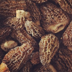 Morel mushrooms as far as the eye can see